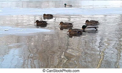 wild ducks swim in the winter pond