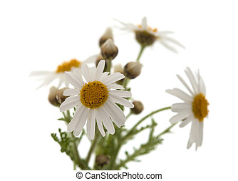 canarian marguerite daisy flowers isolated on white...