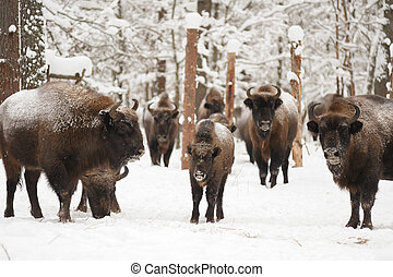 European bisons in winter in Orlovskoye Polesie National...