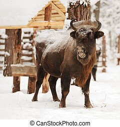 Mature European bisons in winter in Orlovskoye Polesie...