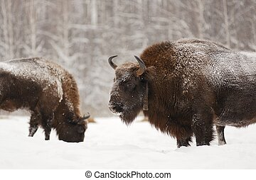 Pair of mature European bisons in winter in Orlovskoye...