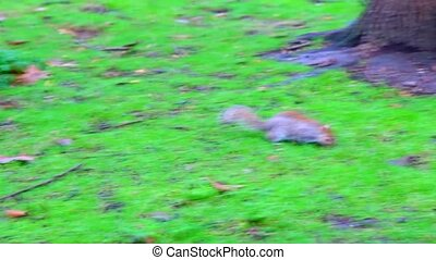 squirrel on the grass - Fat gray squirrel runs across the...