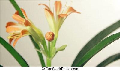Sprinkle flower clivia, Full HD video