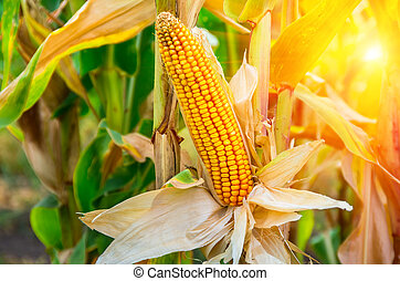 Ripe ear of corn on the field