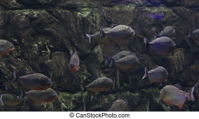Piranha fish in an aquarium - Flock of fish a piranha in an...
