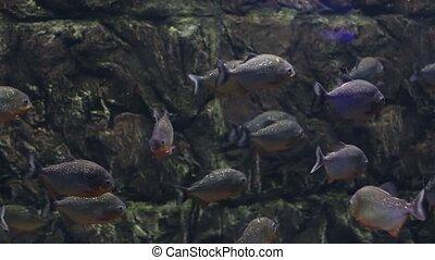 Piranha fish in an aquarium - Flock of fish a piranha in an...