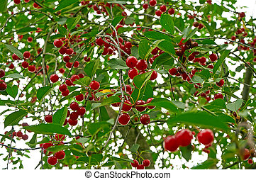 Branch of cherry tree with many red ripe berries