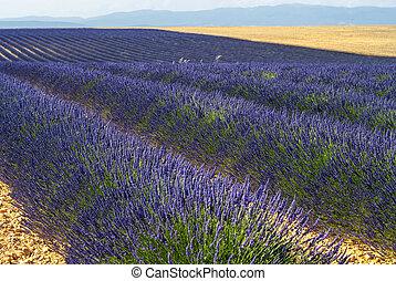 Plateau de Valensole Provence, lavender - Plateau de...