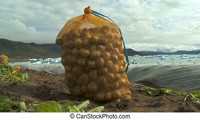 Potato harvest in Greenland - Farmers harvesting potato in...