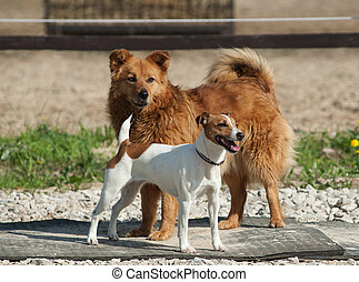 Two dogs outdoors: purebred jack russel and mixed breed dog