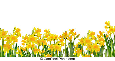 beautiful blooming daffodils - blooming daffodils isolated...