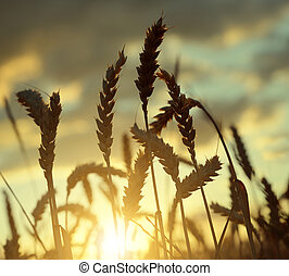 wheat field in the sunset - Silhouette of a wheat field in...