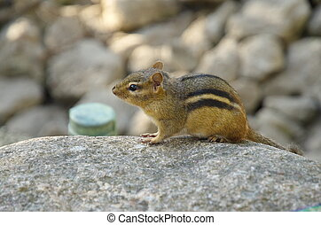Chipmunk sitting on stone in the Brookfield zoo, USA, North...