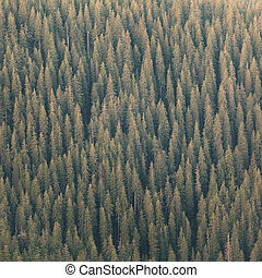 The Green spruce forest - Background of green fir trees...