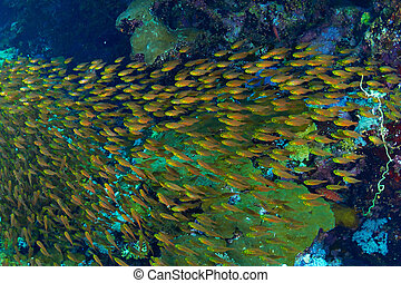 Glassfishes - Shoal of golden sweeper (Parapriacanthus...
