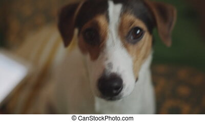 Jack Russell Terrier dog looking at the camera - Cute funny...