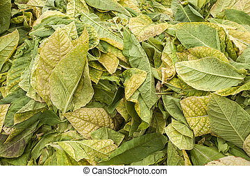 dry tobacco leaves