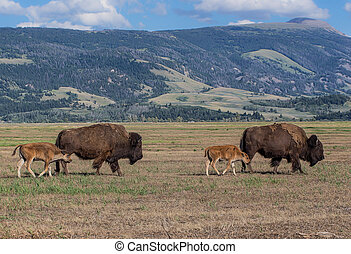 Bison - American bison in Grand Tetons National Park,...