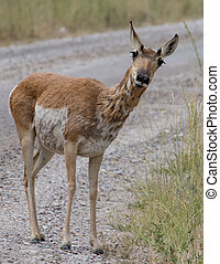 Pronghorn Antelope - Pronghorn antelope in the National...