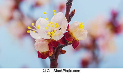 Apricot flower blossoming on blue - Timelapse video of an...