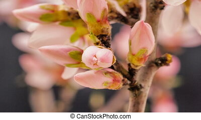 Apricot flower blossoming on black - Timelapse video of an...