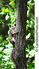 Squirrel in Alabama Forest - A squirrel climbing a tree at...