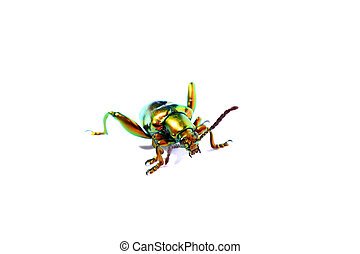 sagra buqueti, insect beetle isolated on white background