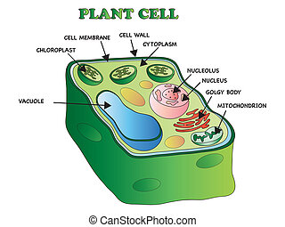 plant cell - illustration of an plant cell