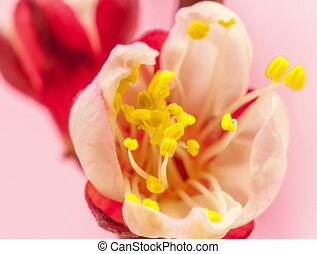 Apricot flower blossoming on pink - Timelapse video of an...