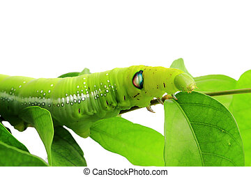 green caterpillar isolated on white background