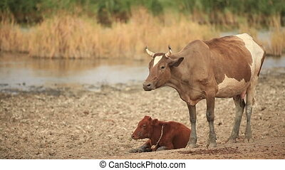 Cow and Calf in the Pasture near the Lake.