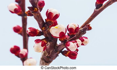 Apricot flower blossoming - Timelapse video of an apricot...