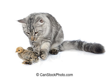maine coon cat and chick in front of white background