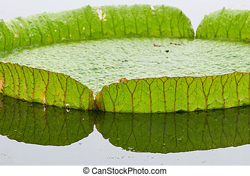 Lotus leaf - Close up rim of giant lotus leafs over water