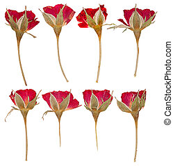 Pressed flowers roses isolated - Set of flat dried pressed...
