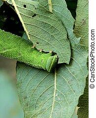 Caterpillar - A caterpillar eating plant sheet in a garden...