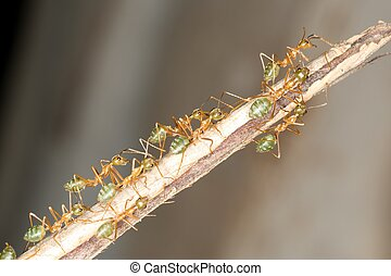 Green Ants - ants in the Australian Tropics