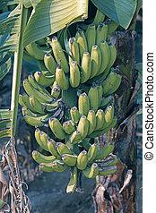 Green Banana, Banane, Musa X Paradisiaca L, India
