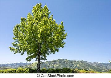 tridente, arce, árbol,