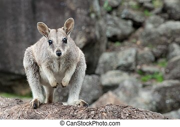 rocha, wallaby,