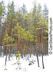 Pine tree forest at winter - Winter landscape in pine tree...