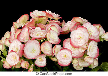 Pink Begonias on black background - Pink Begonias full bloom...