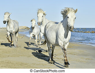 Herd of White Camargue Horses running on the beach . Parc Regional de Camargue - Provence, France