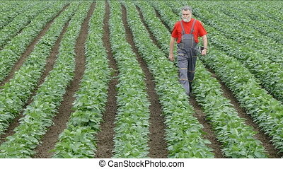 Farmer walking in soy bean field - Agriculture, farmer or...