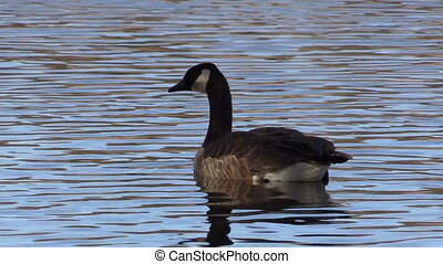 Canada Goose - a canada goose swimming on a lake