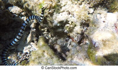 Banded Sea Snake in sea - Banded Sea Snake on coral...