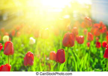 Blurred background of red colored tulips