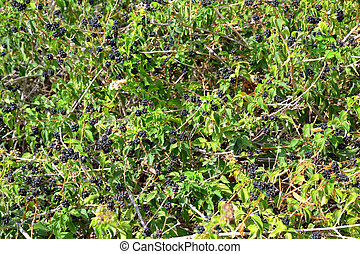 Blackberry bush background - Wild blackberry bush background...