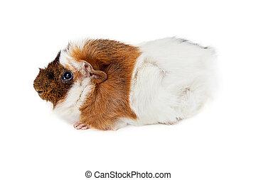 几尼,  longhair, 在上方, 白色, 豬