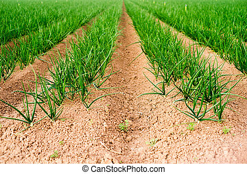 Farmer's Field Green Onions California Agriculture Food Grower